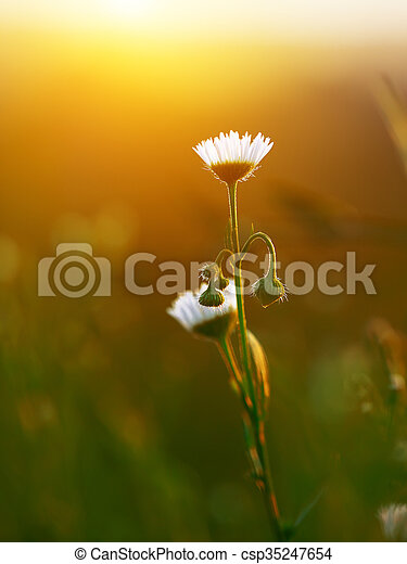 Meadow daisies flowers blooming in sunny day - csp35247654