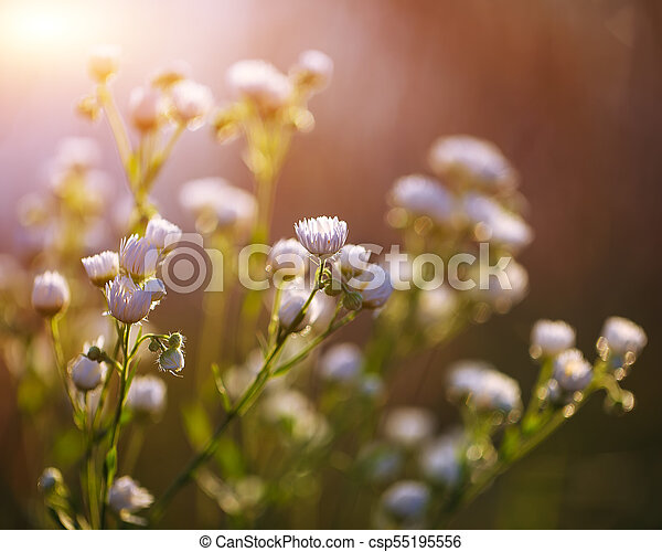 Meadow daisies flowers blooming in sunny day. - csp55195556