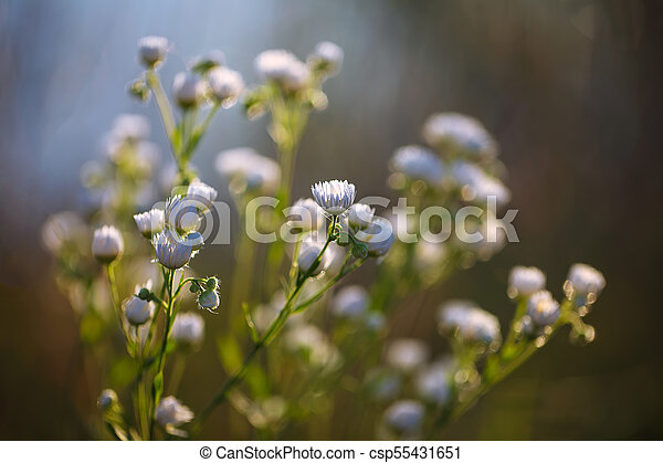 Meadow daisies flowers blooming in sunny day. - csp55431651