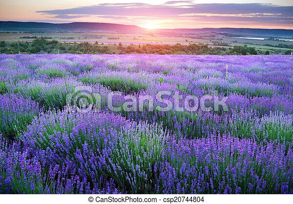 Meadow of lavender.  - csp20744804
