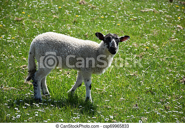 Meadow with a Speckled Young Lamb Wandering About - csp69965833