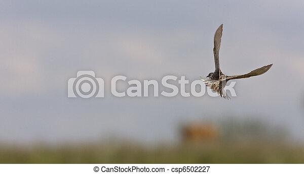 Meadowlark in Flight - csp6502227