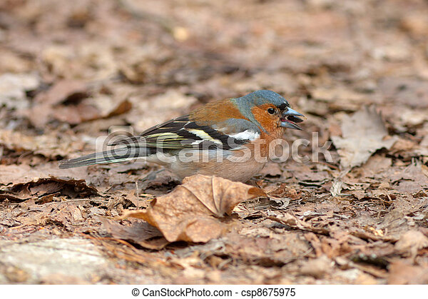 Meal for the chaffinch - csp8675975