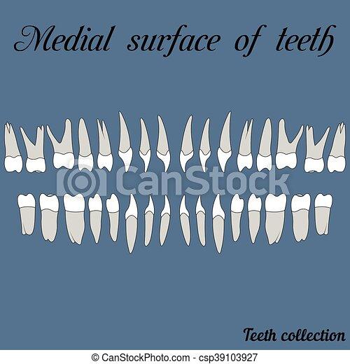 Medial surface of teeth - csp39103927