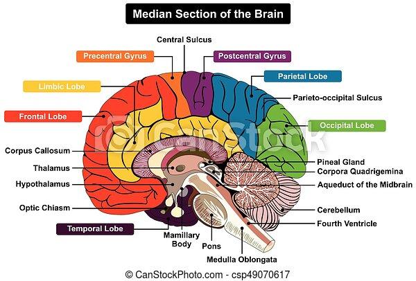 Median section of human brain diagram median section of human brain median section of human brain diagram csp49070617 ccuart Images