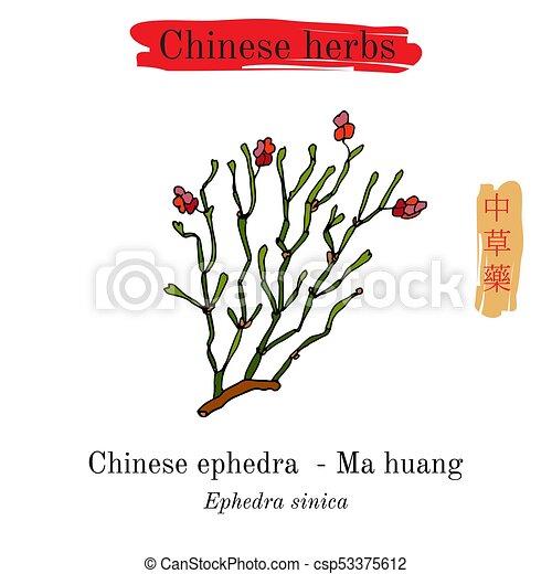 Medicinal herbs of China  Ephedra sinica