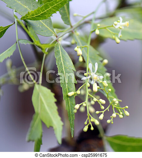 Medicinal neem leaves - csp25991675
