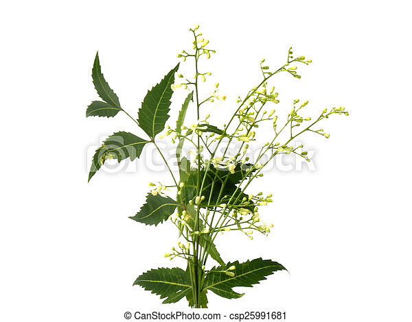 Medicinal neem leaves - csp25991681