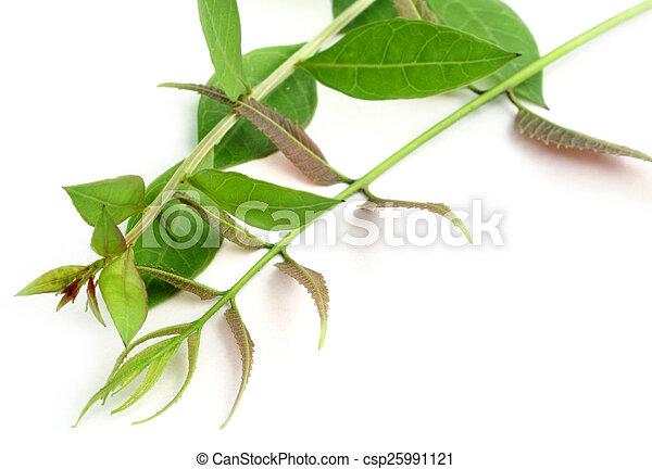 Medicinal neem leaves - csp25991121