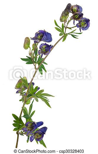Medicinal plant: Aconite - csp30328403