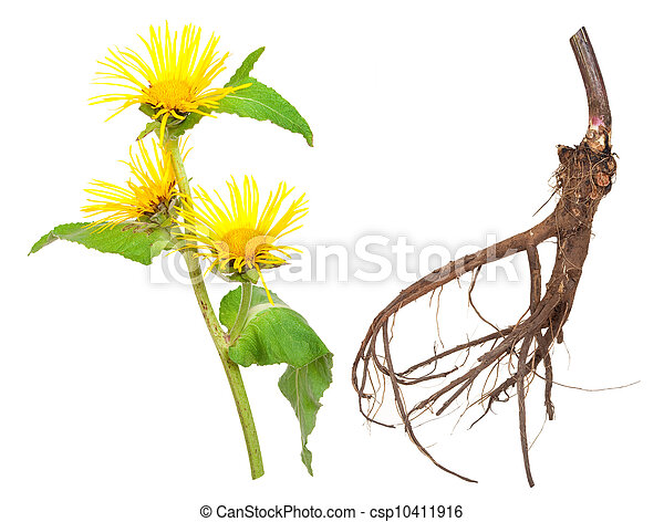 Medicinal plant. Elecampane (Inula helenium)  - csp10411916