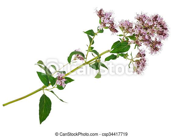 Medicinal plant: Origanum vulgare - csp34417719