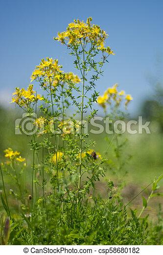Medicinal Plants Hypericum Perforatum Flower Medicinal Plants