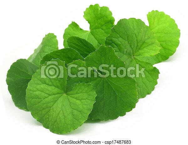 Medicinal thankuni leaves - csp17487683