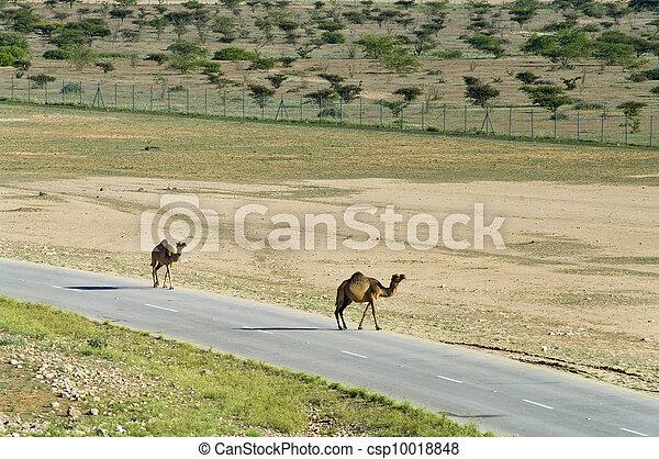 Camellos en la carretera en Oman, Oriente Medio - csp10018848