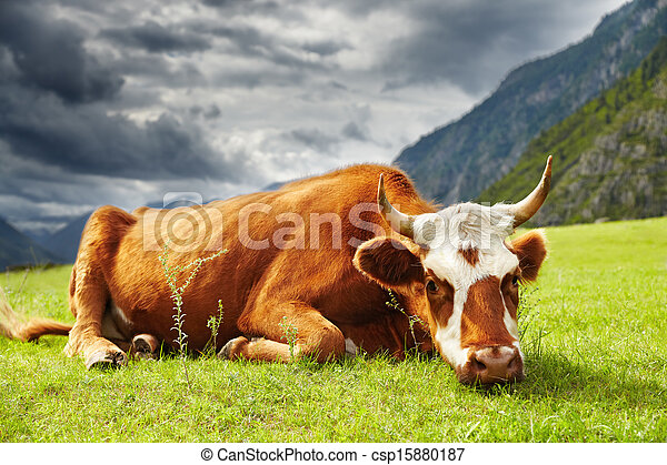 Vaca meditativa - csp15880187