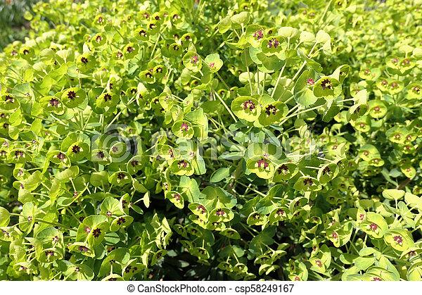 Mediterranean Spurge Euphorbia Characias In Blossom Also Known