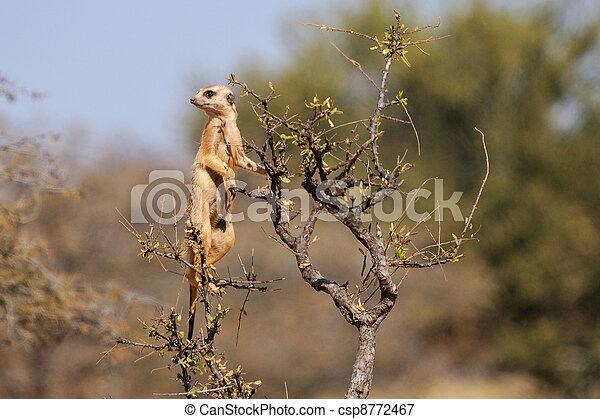 Meerkat on guard - csp8772467