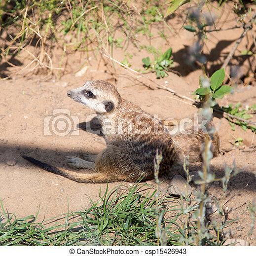 meerkat or suricate (Suricata, suricatta), a small mammal, is a member of the mongoose family - csp15426943