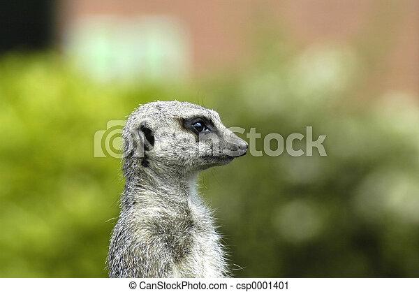 meerkat - csp0001401