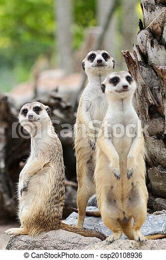 Meerkat - csp20108936