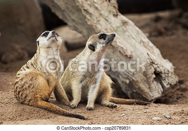 Meerkat - csp20789831