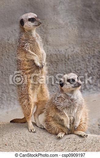 Meerkats - csp0909197