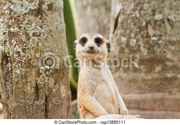 Meerkats - csp13885111