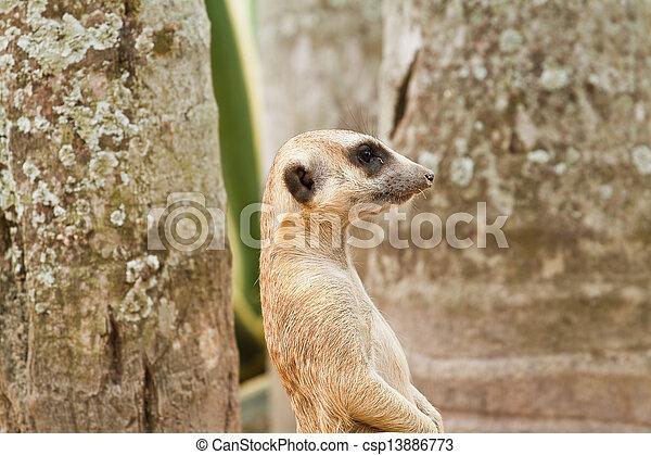 Meerkats - csp13886773