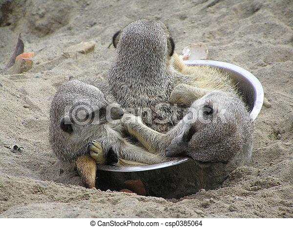 meerkats - csp0385064