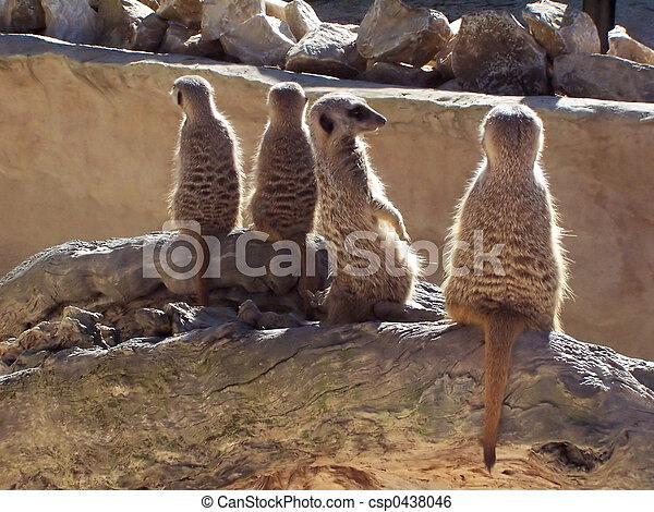 meerkats - csp0438046