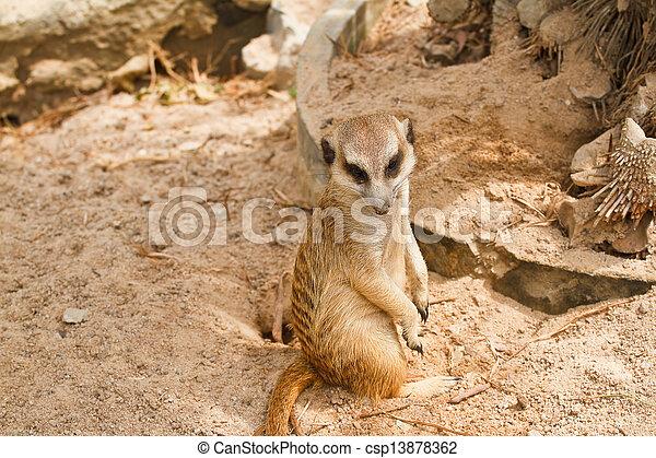 Meerkats - csp13878362