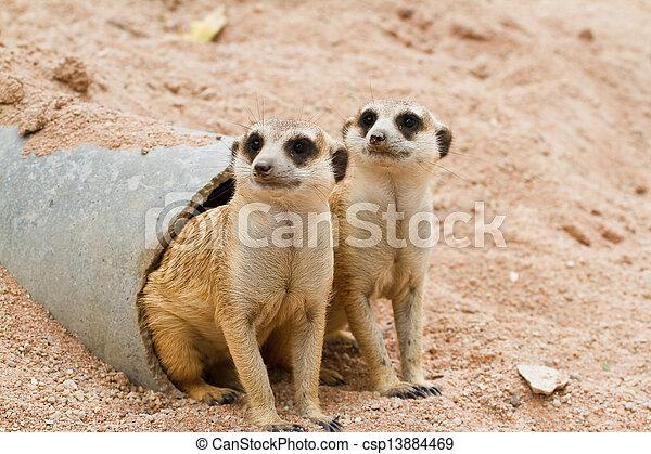 Meerkats - csp13884469