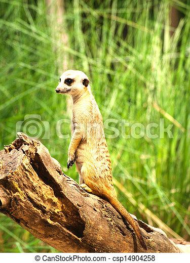 Meerkats - csp14904258