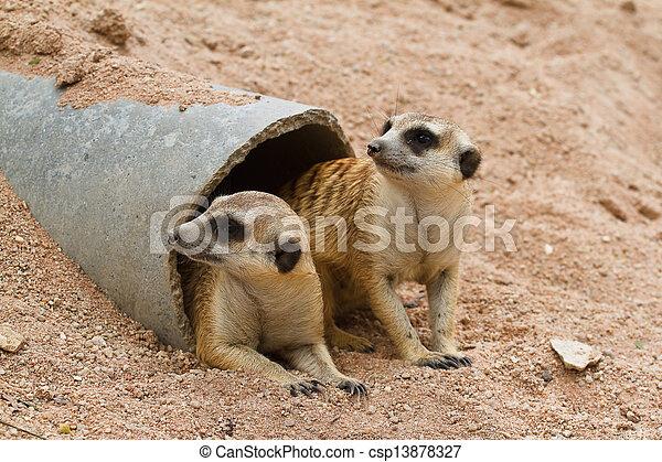 Meerkats - csp13878327
