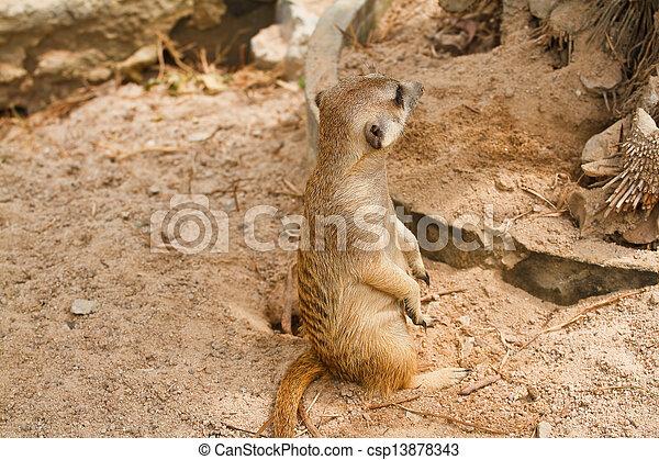 Meerkats - csp13878343