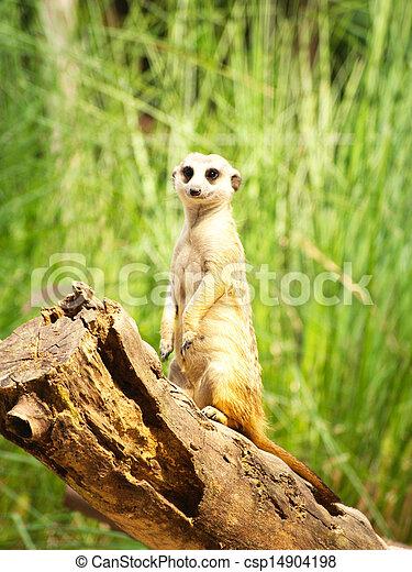 Meerkats - csp14904198