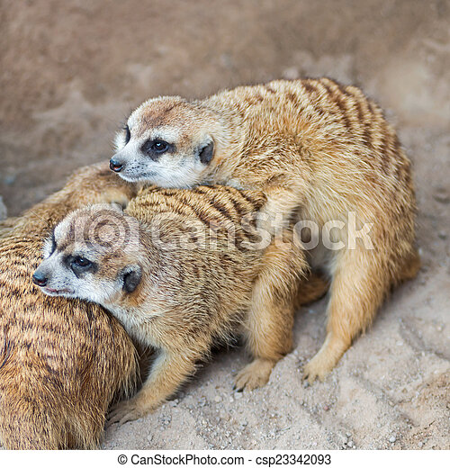 Meerkats - csp23342093
