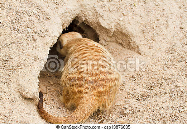 Meerkats - csp13876635