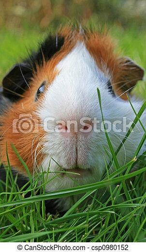meerschweinchen, gesicht - csp0980152