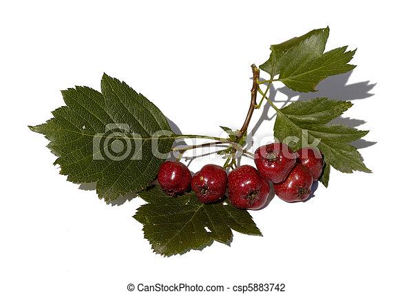 meidoorn, vrijstaand, tak, vruchten - csp5883742