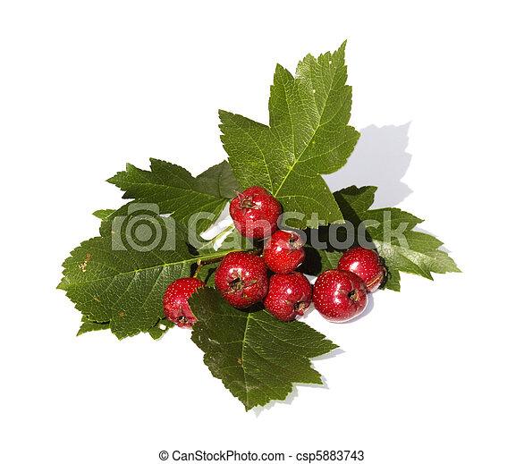 meidoorn, vrijstaand, tak, vruchten - csp5883743