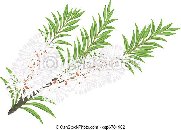 Melaleuca - tea tree.  - csp6781902