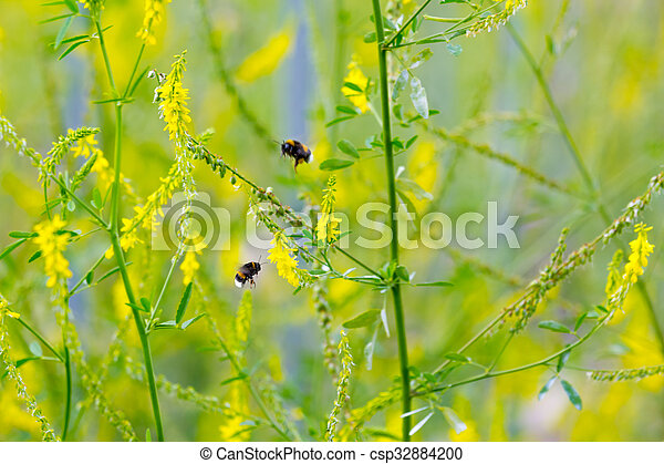 Melilot yellow sweet clover bumblebees collect nectar on the melilot yellow sweet clover csp32884200 mightylinksfo