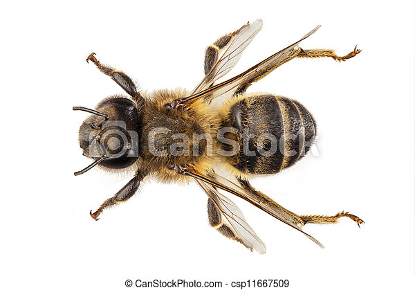 mellifera, nome, apis, abelha, mel, comum, espécie, ocidental - csp11667509