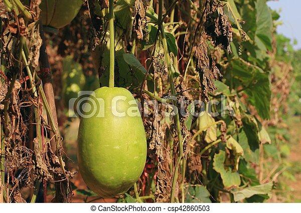 melon, hiver - csp42860503