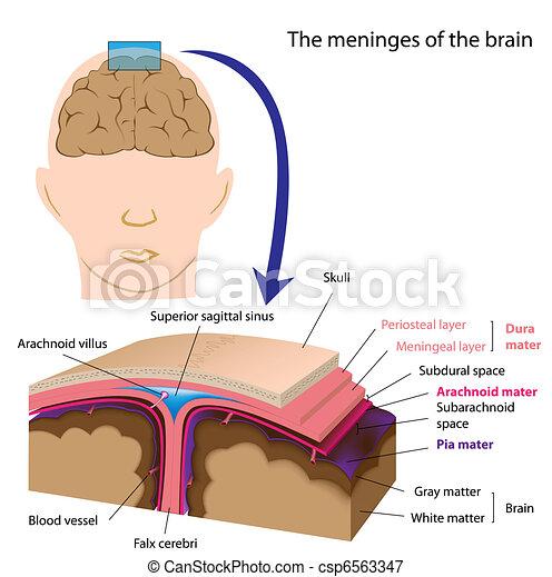 meninges, hjärna, eps8 - csp6563347