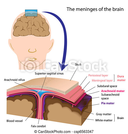 Meninges of the brain, eps8 - csp6563347