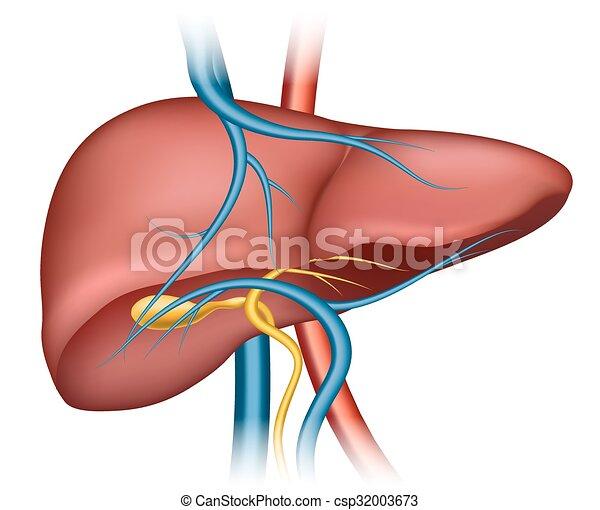 Menschliche , leber, struktur. Structure., organ, medizinische ...
