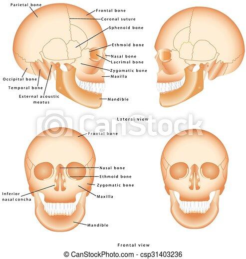 Menschlicher schädel, struktur. Structure., totenschädel, frontal ...